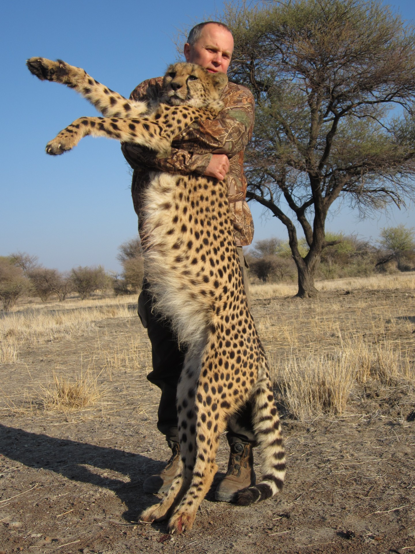 African Cheetah Hunting